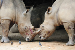rhinoceros 2 бой Стоковое Фото