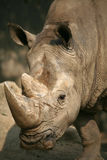 Rhinoceros Royalty Free Stock Photography