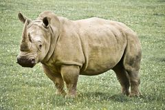 Rhinoceros Stock Photo