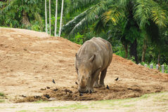 The rhinoceros Royalty Free Stock Images