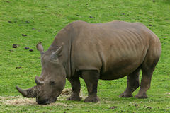 Rhinoceros. Profile of a rhinoceros or rhino with grassy background royalty free stock photo