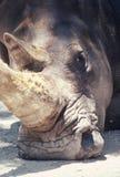 Rhinoceros. Stock Photos