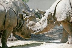 Rhinoceros 3 Royalty Free Stock Image