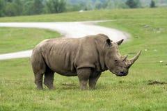 Free Rhinoceros Royalty Free Stock Photo - 36259645