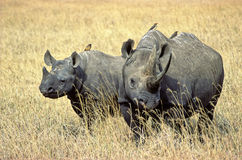 Rhinoceros. Two black rhinoceros facing us in Ngorongoro crater, Tanzania Stock Photography