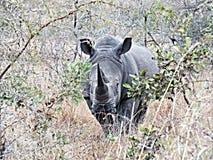 rhinoceros Imagens de Stock
