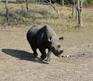 rhinoceros Imagem de Stock Royalty Free