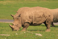 rhinoceros Foto de Stock