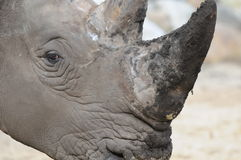 rhinoceros Stockbilder