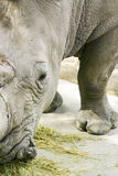 Rhinoceros. Partial view of the head and side of a Rhinoceros.  Family:  Rhinocerotidae Royalty Free Stock Images
