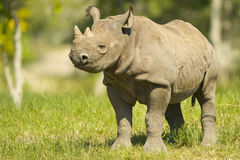 Young Rhinoceros Stock Image