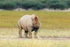 черный rhinoceros Стоковая Фотография RF