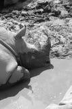 Rhinoceros   Стоковые Фотографии RF