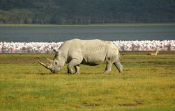 Rhinoceros. Walking in front of a Nakuru lake in Kenya Royalty Free Stock Photography