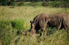 rhinoceros Fotografia de Stock