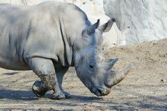 rhinoceros Стоковое Изображение