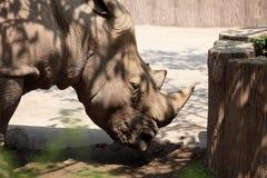 rhinoceros Immagine Stock Libera da Diritti
