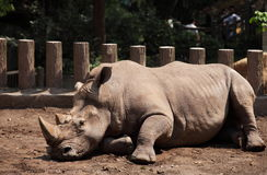 rhinoceros Fotografie Stock Libere da Diritti