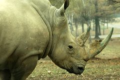 Rhinoceros. The head and double horn of a rhino Royalty Free Stock Image