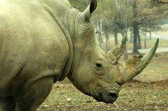 rhinoceros Стоковое Изображение RF