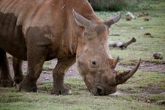 rhinoceros Foto de Stock Royalty Free