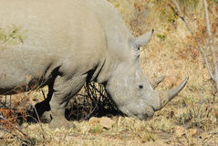 Rhinoceros. At Pilanesberg National Park. South Africa royalty free stock photography