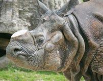 Rhinoceros 7. Rhinoceros with the sawn off horn Royalty Free Stock Photos