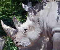 rhinoceros Immagine Stock