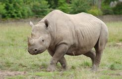 Rhinoceros. A rhino running for some food Stock Photos
