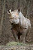 rhinoceros Стоковые Изображения RF