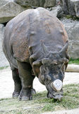 Rhinoceros 9 royalty free stock images