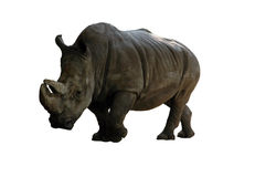 Rhinoceros. The going rhinoceros on a white background Stock Images