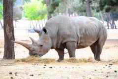 rhinoceros стоковая фотография rf