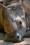 rhinoceros Стоковая Фотография