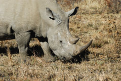 Rhinoceros in Africa. Rhinoceros at Pilanesberg National Park. South Africa stock photo