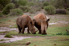 Rhinoceros. Africa game drive wildlife stock photography