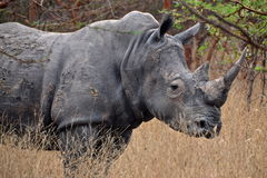 Rhinoceros in Africa Stock Photos