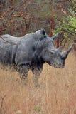 Rhinoceros in Africa Royalty Free Stock Photos