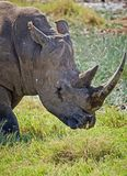 Rhinoceros in the African . Large herbivorous mammal African savannah royalty free stock images