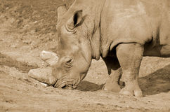 Rhinoceros Royalty Free Stock Images