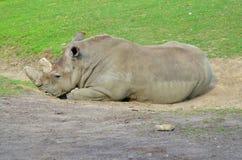 Rhinoceros Royalty Free Stock Photography
