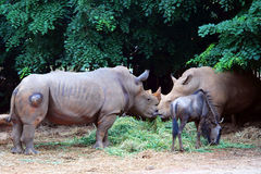 Rhinoceros Animals, Rhinos Stock Photo