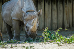 Rhinoceros approaching his food. The rhinoceros has got his head tilted towards the food laying on the ground Stock Images
