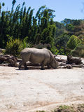 Rhinoceros @ Auckland zoo. Gentle southern white rhino strolling around his enclosure at Auckland zoo Royalty Free Stock Photo