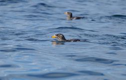 Rhinoceros Auklets swimming off of Cape Suti, Vancouver Island. Royalty Free Stock Image