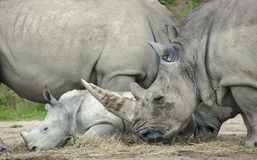 Rhinoceros baby and familly. Royalty Free Stock Images
