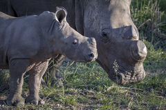 Rhinoceros baby with mom Royalty Free Stock Images