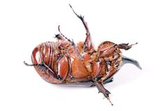 Rhinoceros beetle. Isolated on a white stock images