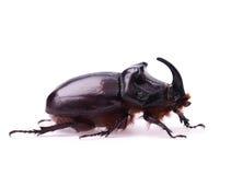 Rhinoceros beetle Stock Image