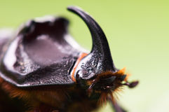 Rhinoceros beetle royalty free stock photo
